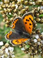 Small Copper Butterfly by IRIS-KUPP
