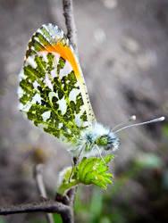 Orange Tip Butterfly by IRIS-KUPP