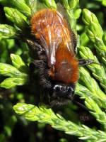 Tawny Mining Bee by IRIS-KUPP