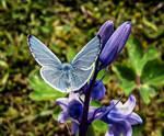 HOLY BLUE