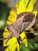 Dockleaf Shieldbug by IRIS-KUPP