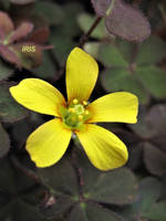 Yellow Sorrel by IRIS-KUPP