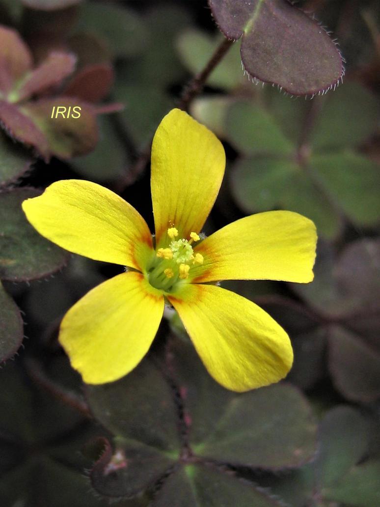 Yellow Sorrel By Iris Cup On Deviantart