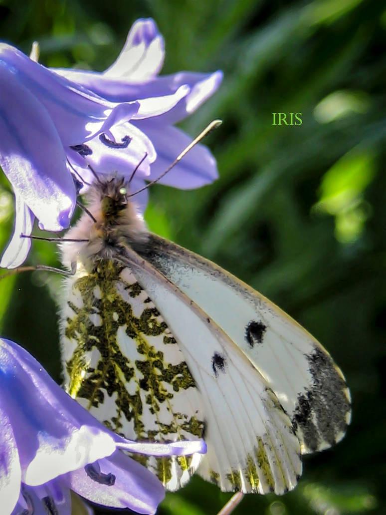 B for Butterfly by IRIS-KUPP
