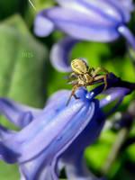 Crab Spider by IRIS-KUPP