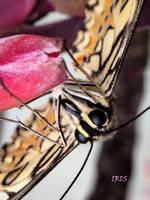 Papilio Machaon by IRIS-KUPP