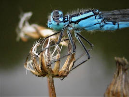 BLUE DAMSELFLY by IRIS-KUPP