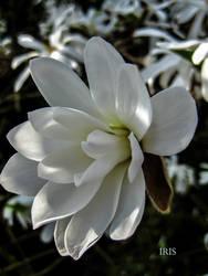 Magnolia by IRIS-KUPP