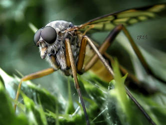 The Fly by IRIS-KUPP
