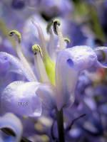 Blue Bell by IRIS-KUPP