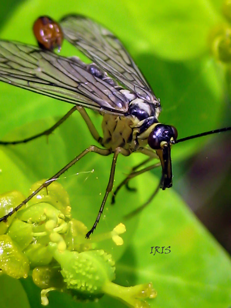 Scorpion Fly by IRIS-KUPP