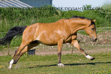 Warmblood 5 by Colourize-Stock