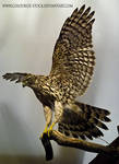 Hawk Stock2
