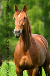 Standardbred 12 by Colourize-Stock