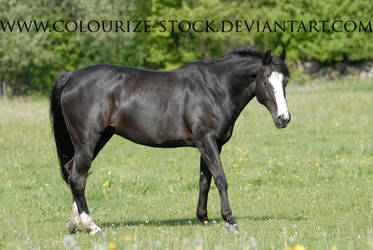 Warmblood 20 by Colourize-Stock