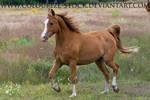 Arabian 12