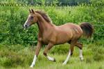 Arabian 15
