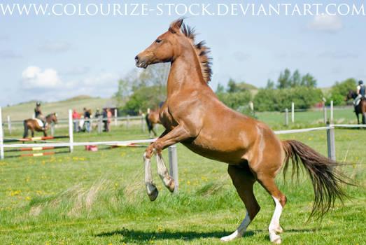 Arabian 17