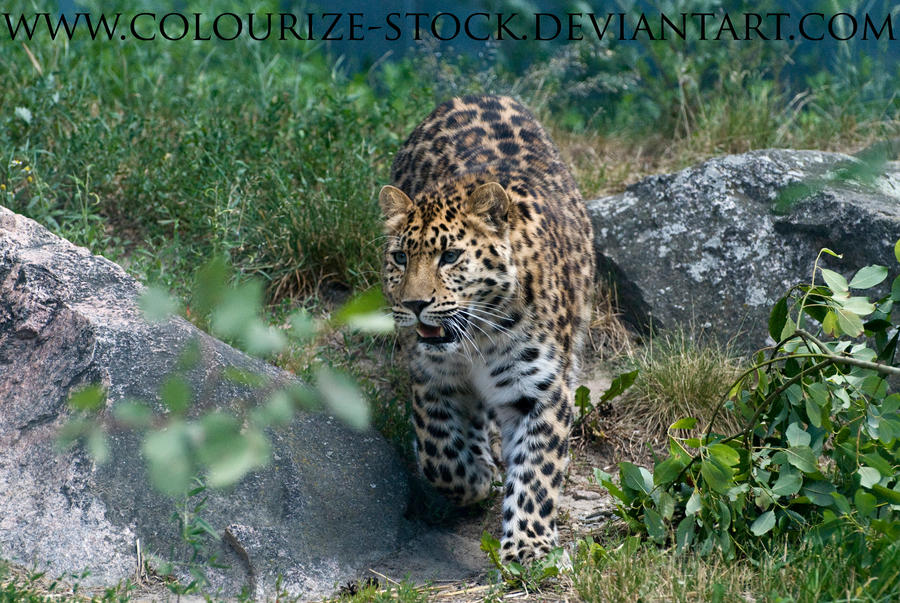 Leopard Stock by Colourize-Stock