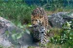 Leopard Stock