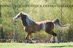 Welsh Mare 4