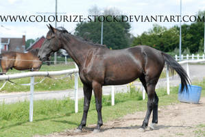 Standardbred 16 by Colourize-Stock
