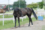 Standardbred 17 by Colourize-Stock