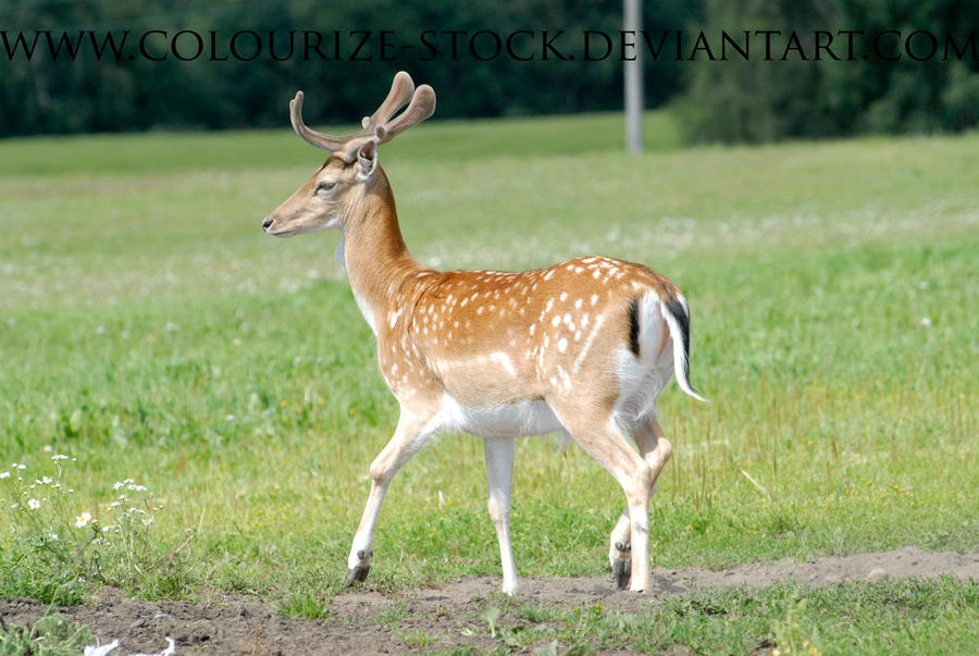 Deer Stock 3 by Colourize-Stock