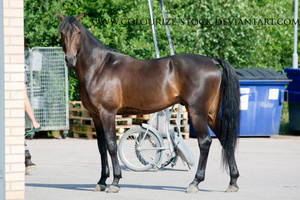Standardbred 20 by Colourize-Stock