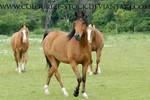Arabian 24