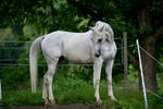 Arabian 28