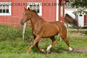 Standardbred 23 by Colourize-Stock