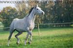 Arabian 33