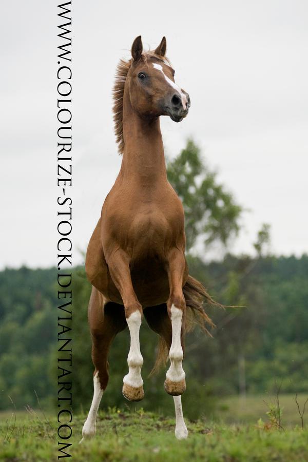 Arabian 35