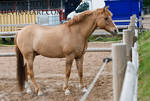Red Dun Pony