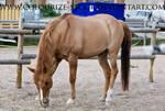 Red Dun Pony 2