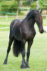 Friesian 1 by Colourize-Stock