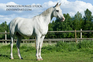 Arabian 42 by Colourize-Stock