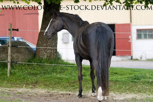 Warmblood 51 by Colourize-Stock