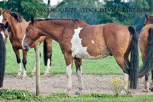 Warmblood 54 by Colourize-Stock