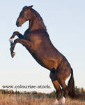 Warmblood 58 by Colourize-Stock