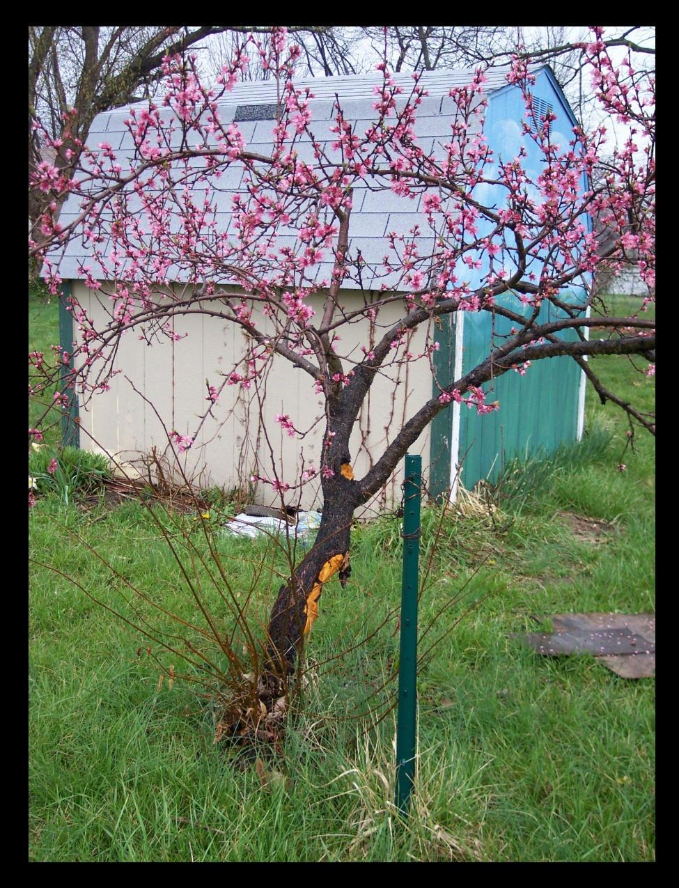 Peach Tree, No. 5 by myu2k2 on DeviantArt