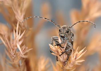 Niphona picticornis by ELKAPL