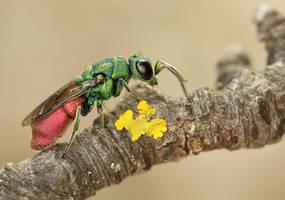 Jewel wasp 2 by ELKAPL