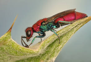 Jewel wasp 3 by ELKAPL