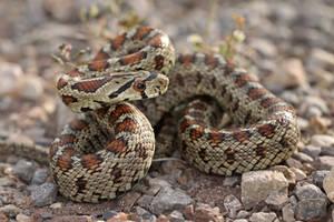 Leopard Snake by ELKAPL