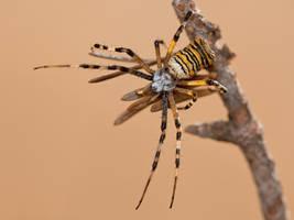 Wasp Spider by ELKAPL