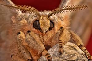 Chinese Tasar Moth by ELKAPL