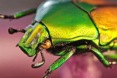 Flower Beetle by ELKAPL