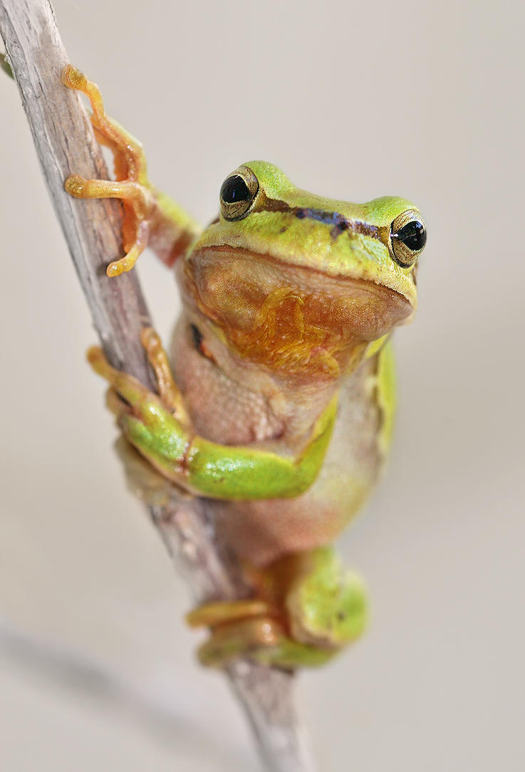 V Frog Kpm TREE FROG by EL...